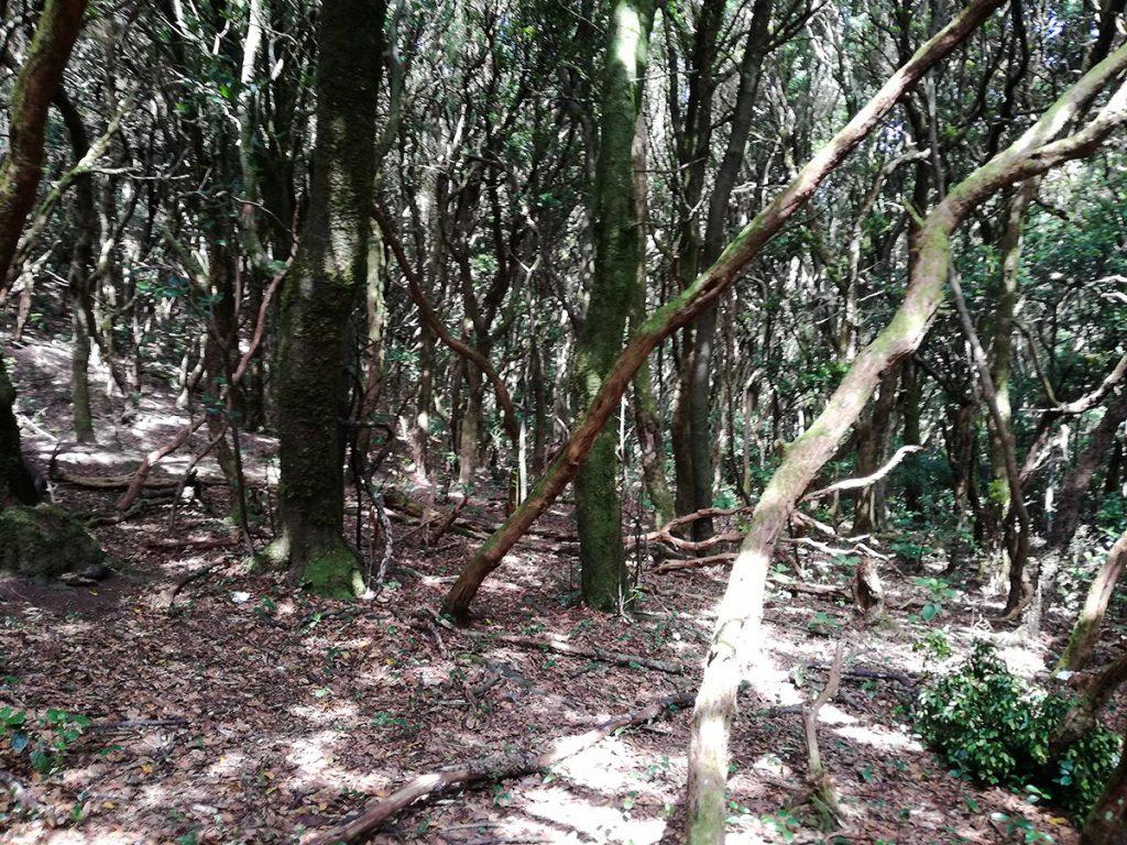 Las tropikalny na Teneryfie w górach Anaga