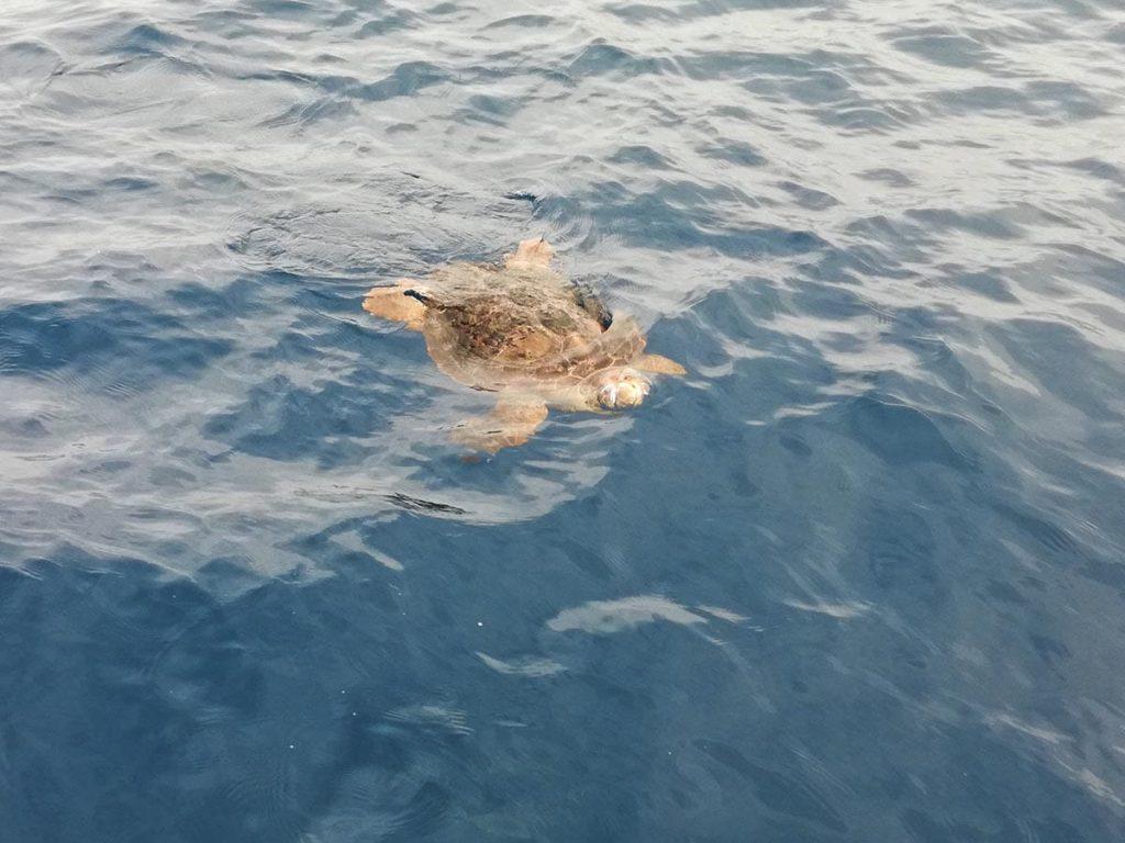 Teneryfa żółw pływający w oceanie kilka kilometrów od wyspy
