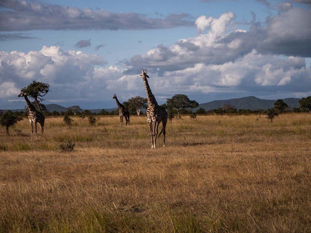 safari z zanzibaru mikumi zanzibar wakacje