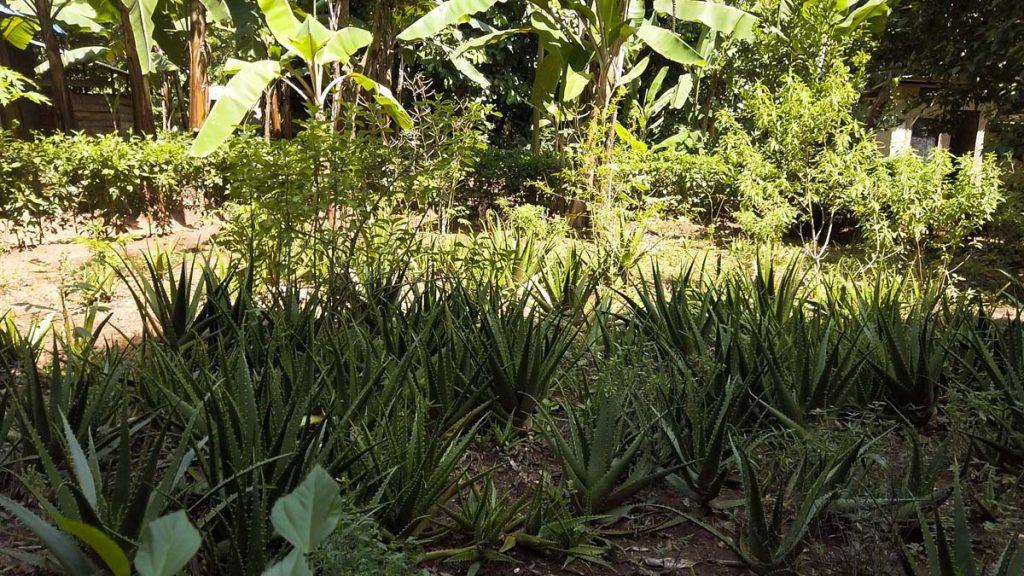 Plantacja przypraw na Zanzibarze - rosnący aloes
