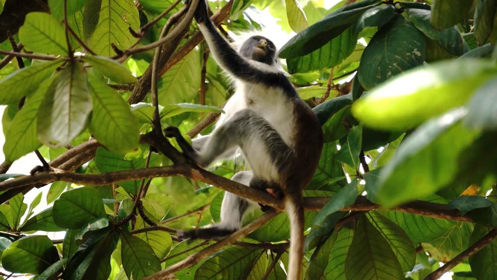 Zanzibar Jozani Forest park narodowy i atrakcja Zanzibaru