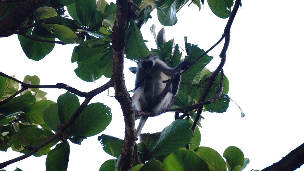 zanzibar tanzania co warto zobaczyc jozani forest Zanzibar atrakcje