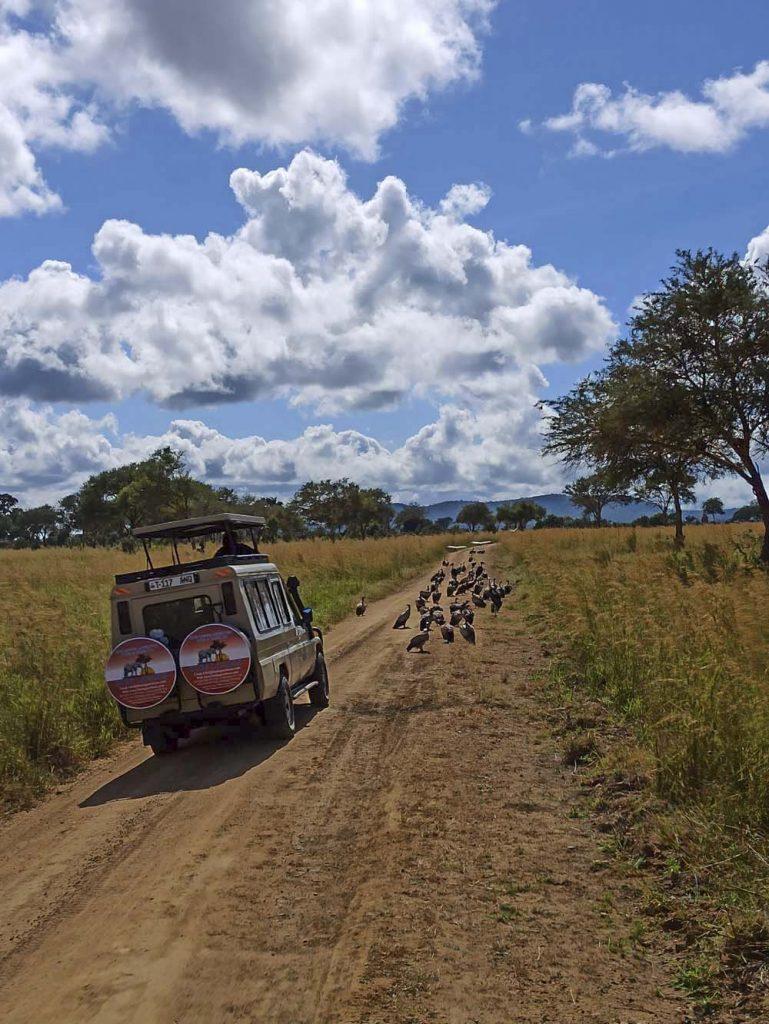 afryka safari tanzania mikumi objedzone padlina sepy safari w Tanzanii