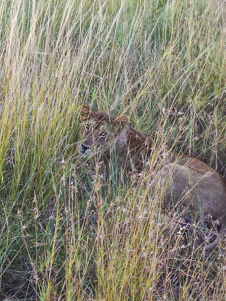 afrykanskie safari tanzania lwy dzikie zwierzeta safari w Tanzanii