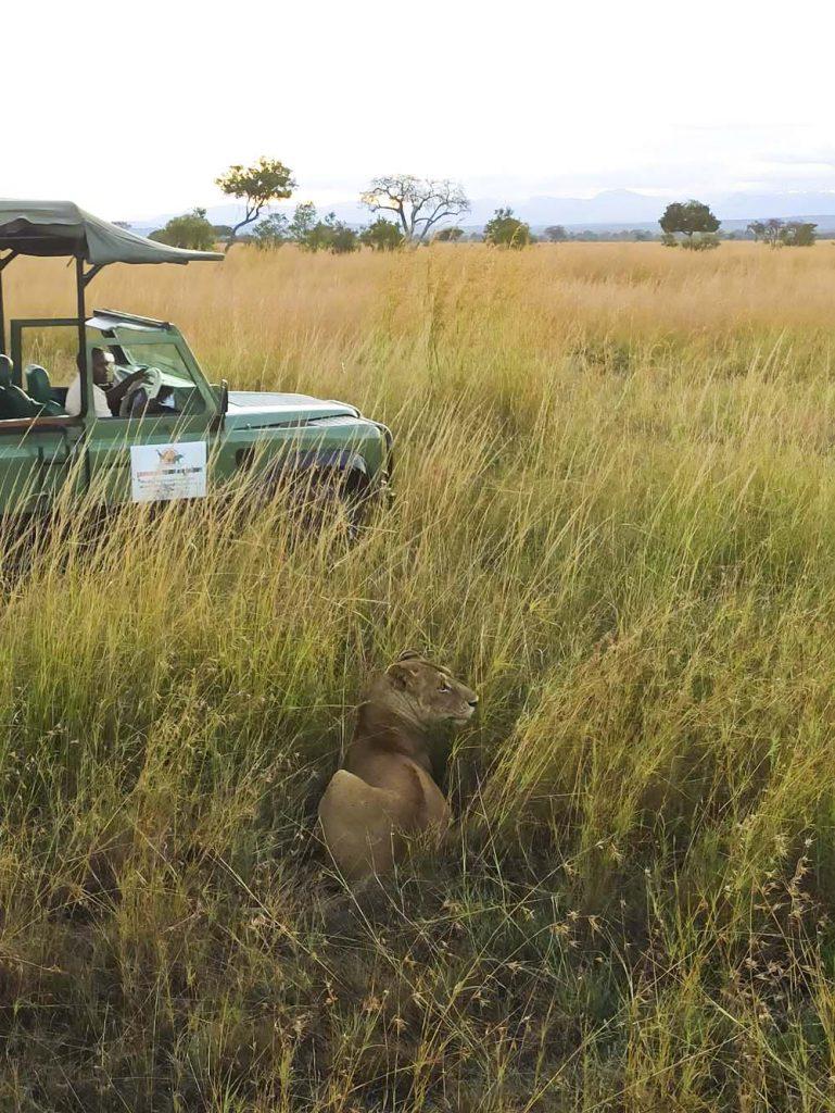 lwy na safari w tanzanii afryka safari w Tanzanii