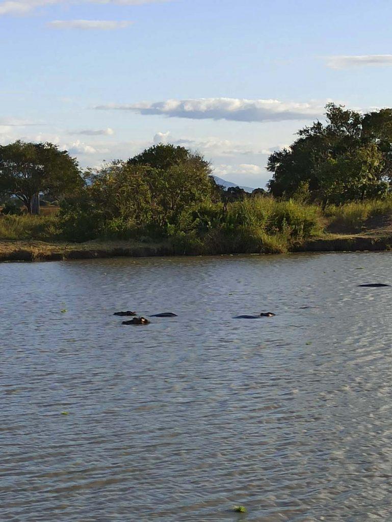 safari hipopotamy tanzania afryka safari w Tanzanii
