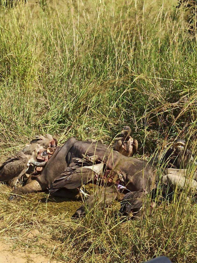 safari sepy zjadajace padline tanzania park narodowy mikumi safari w Tanzanii