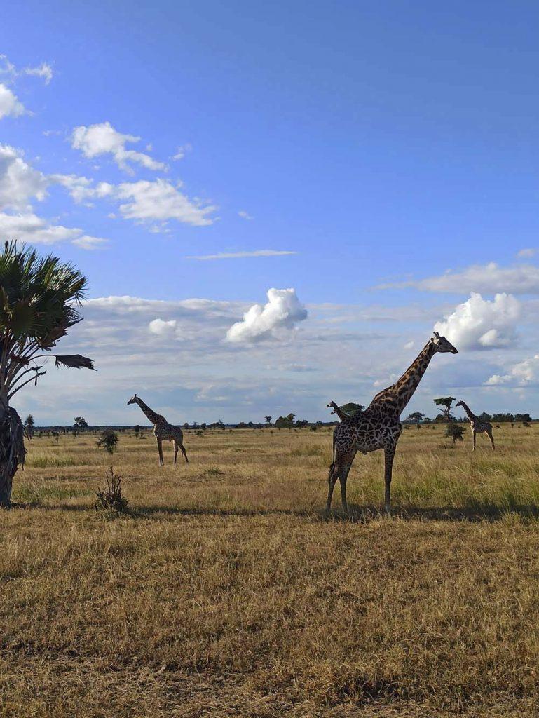 safari tanzania zyrafy dzikie zwierzeta safari w Tanzanii
