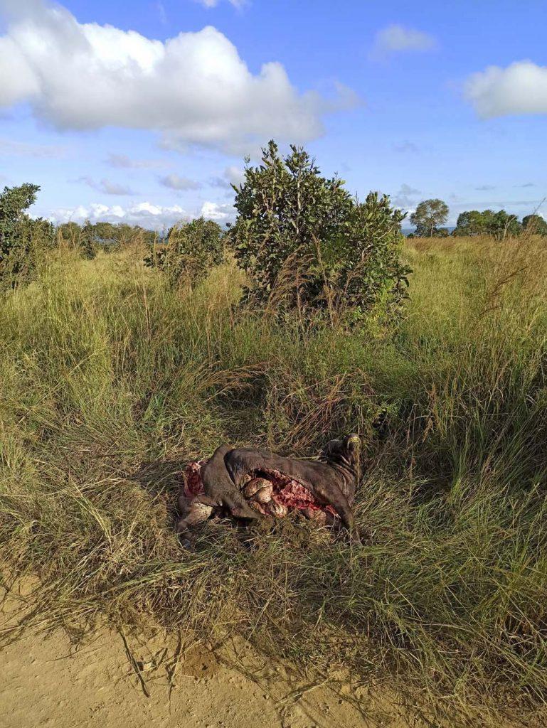 safari upolowany przez lwy bawol tanzania mikumi safari w Tanzanii