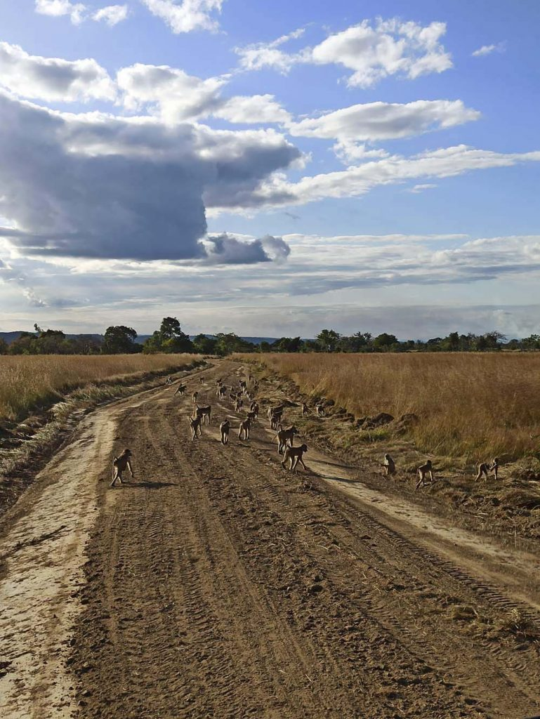 tanzania safari malpy wycieczka safari w Tanzanii