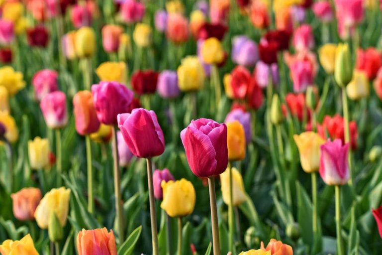 Keukenhof Holandia park kwiatów